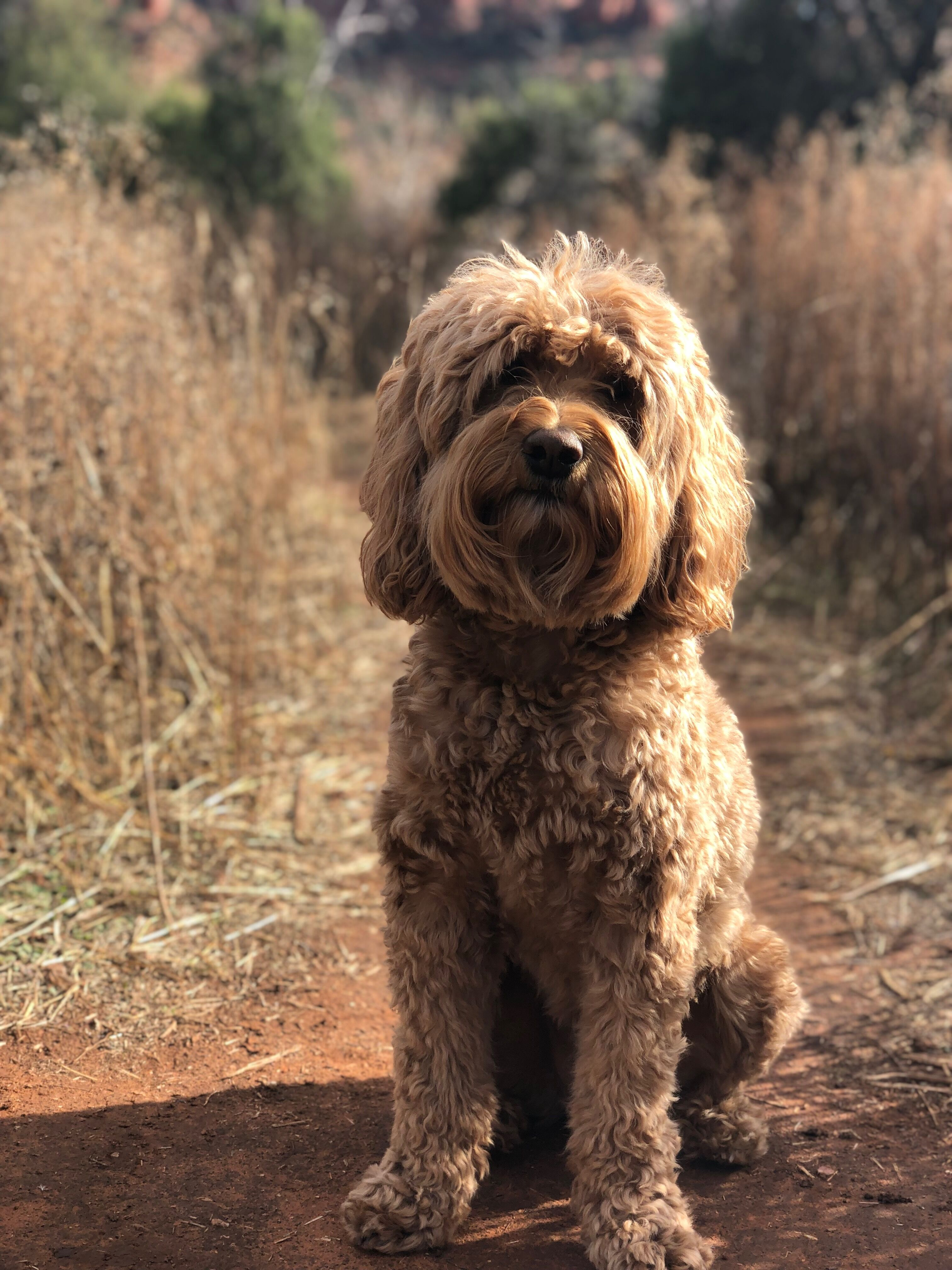 Sir Winston Da Doodle starring as Sandy in Annie production