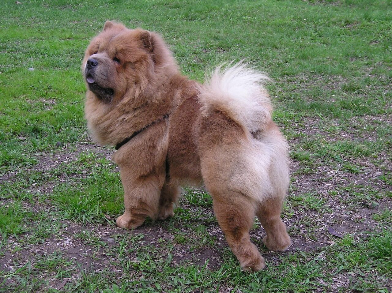 Chow Chows of Instagram show how they are the fluffiest scene stealers
