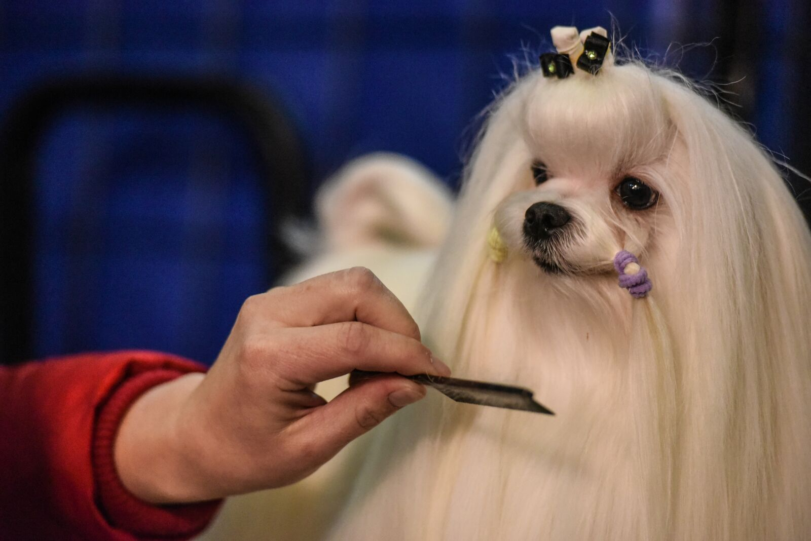 2020 WKC Dog Show picks: How accurate were they?