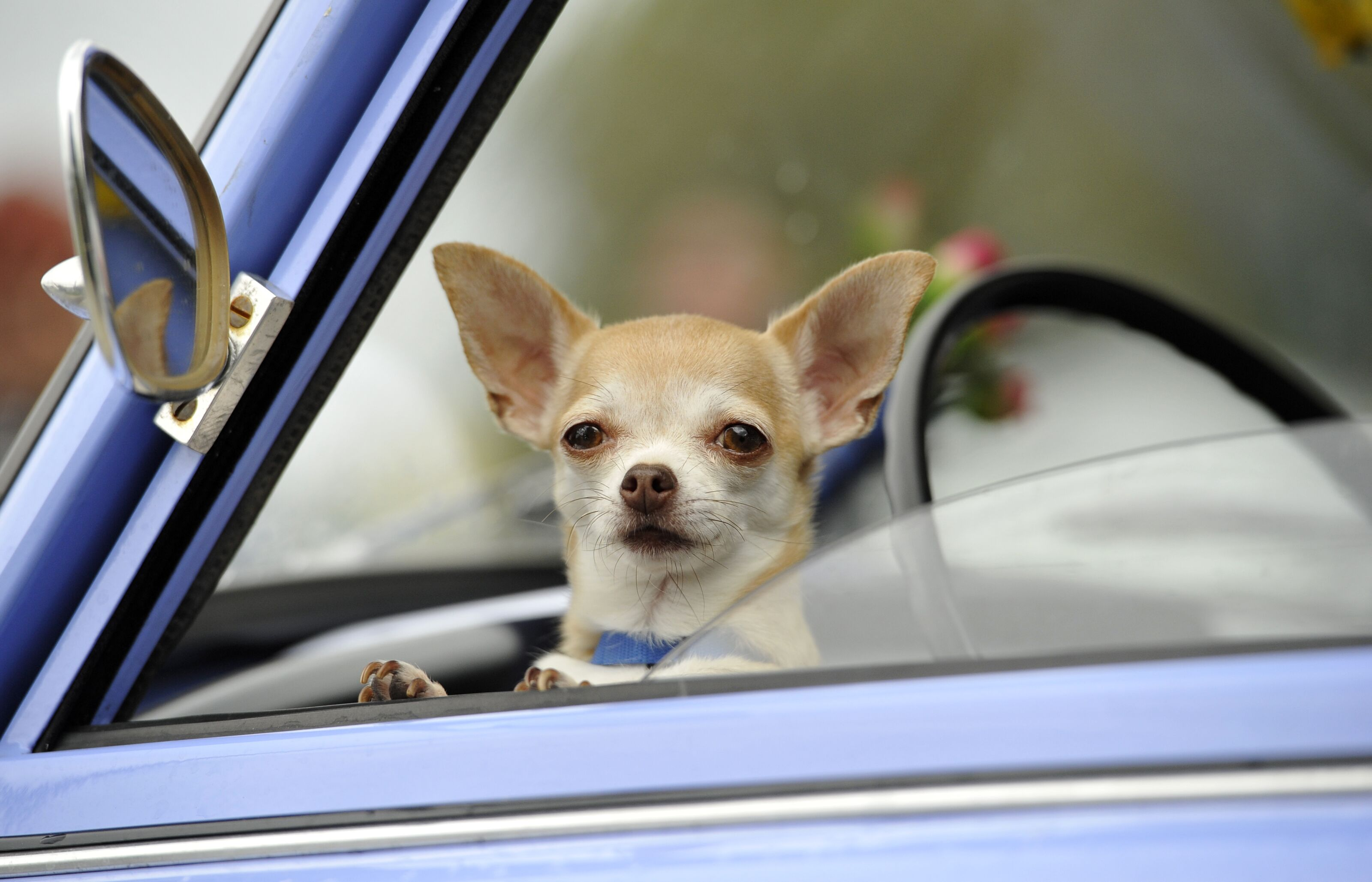 PetSmart is celebrating the Chihuahua on August 22
