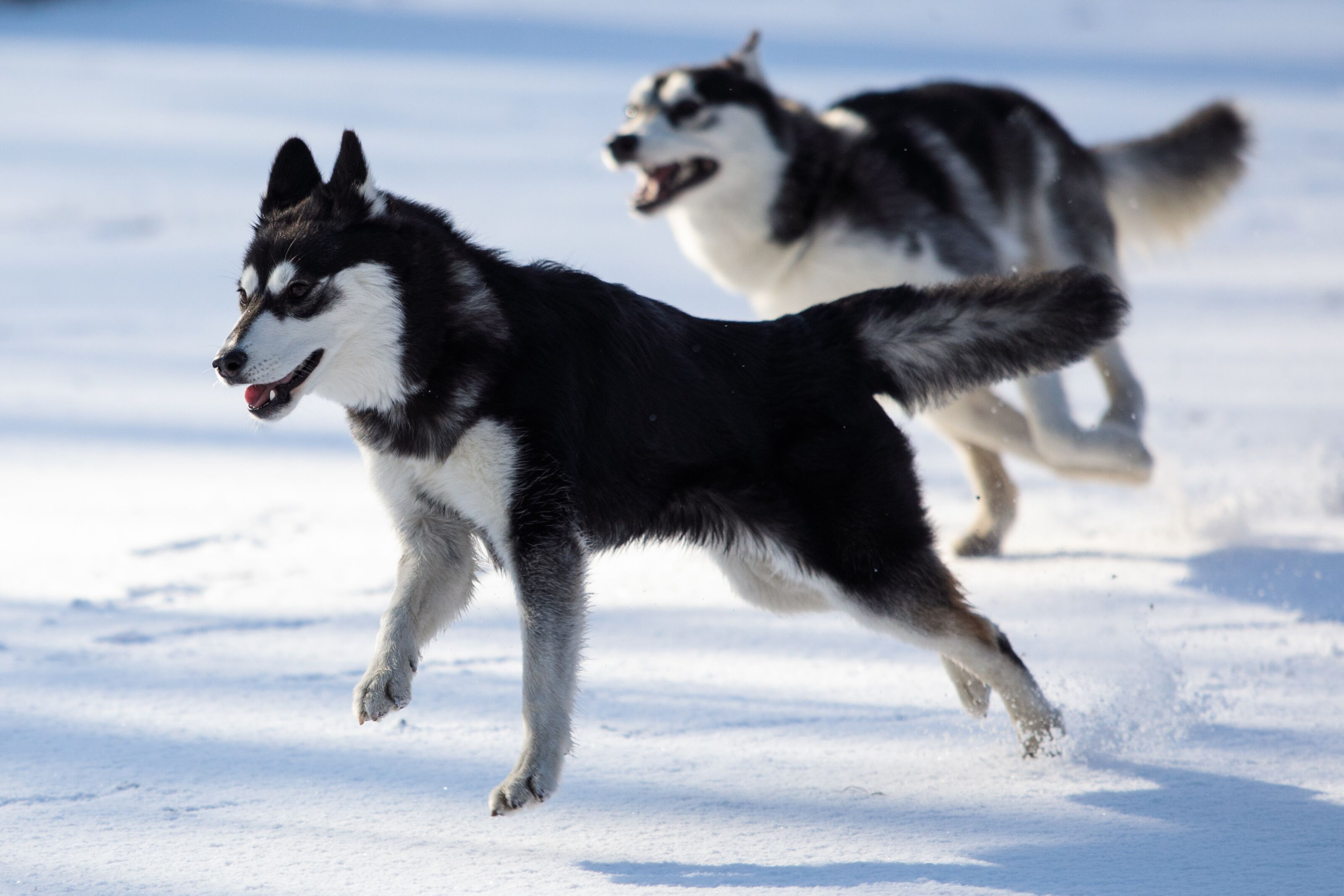 Breeds 101: Getting to know the mysterious Siberian Huskies