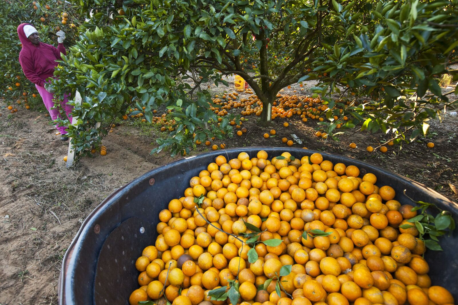 Dogs may be the answer to the citrus crisis in Florida