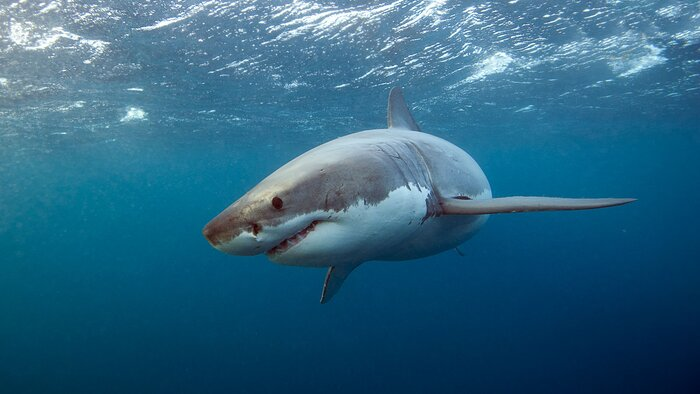 Everything you need to know about eating shark in the us for Plenty of fish hawaii