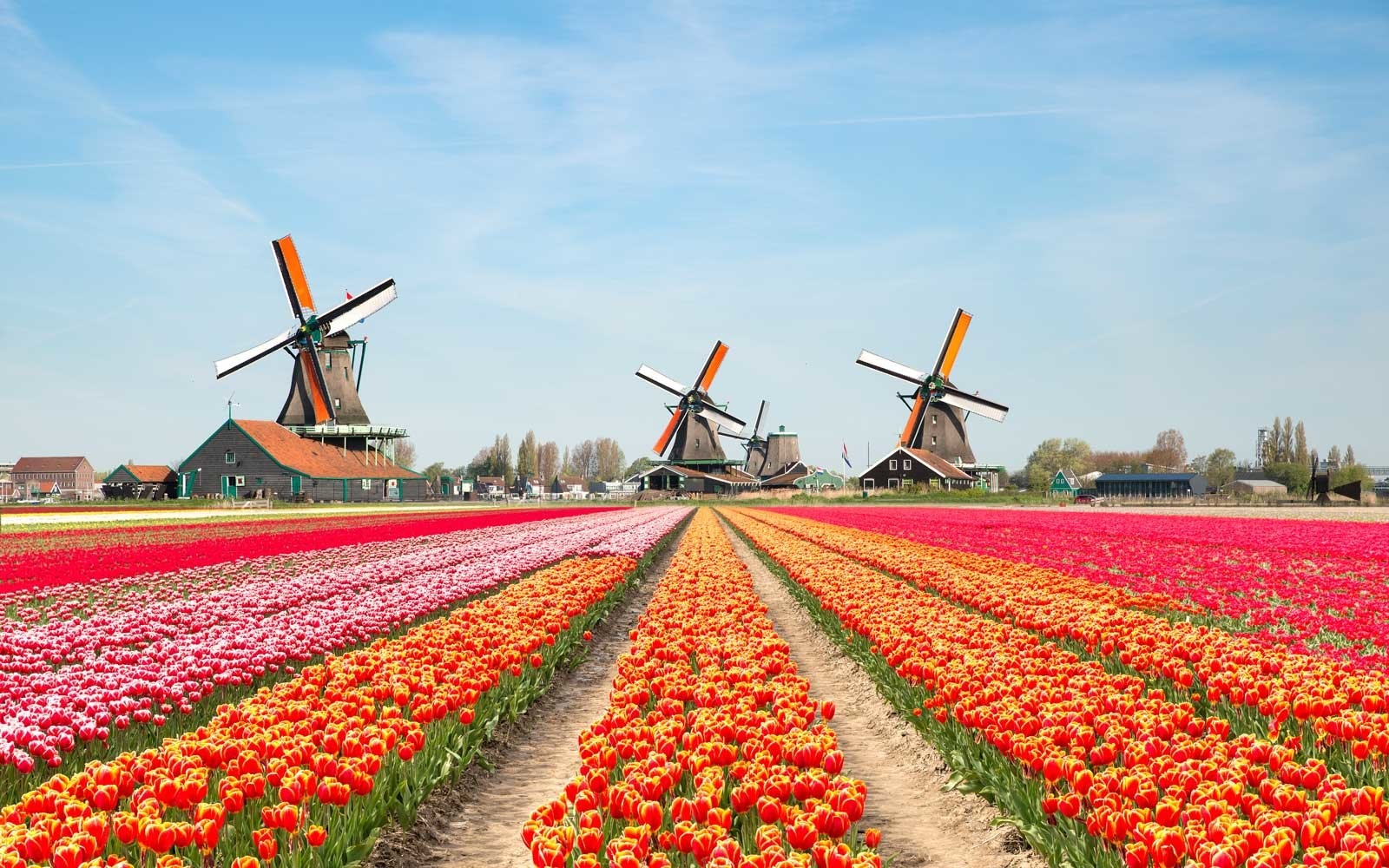 Landscape of Netherlands with tulips and windmills.