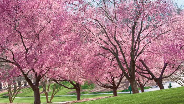growing cherry blossoms  southern living, Natural flower