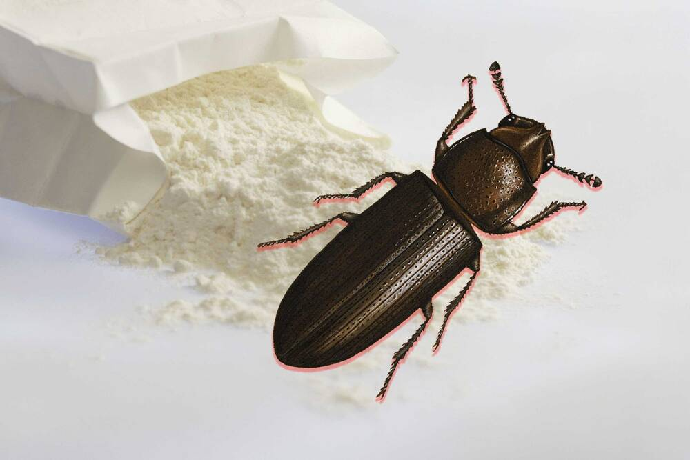 what are flour bugs and should i be worried about accidentally