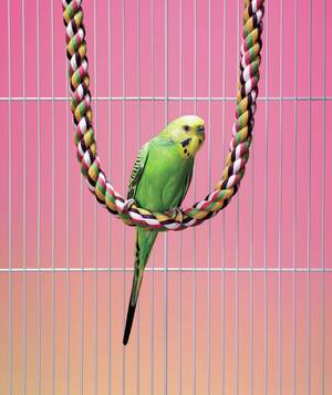 Green Budgie Parakeet Perched On Rope
