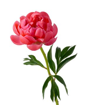 6 pretty flowers and their symbolic meanings real simple peony mightylinksfo Image collections