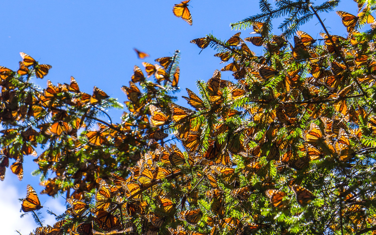 Image result for monarch butterfly migration mexico