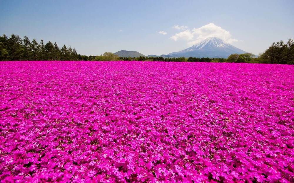 This japanese flower festival almost doesnt look real travel shibazakura pink moss festivals japan mightylinksfo