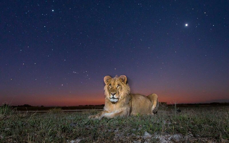 A lion at night in Liuwa Plain National Park, Zambia