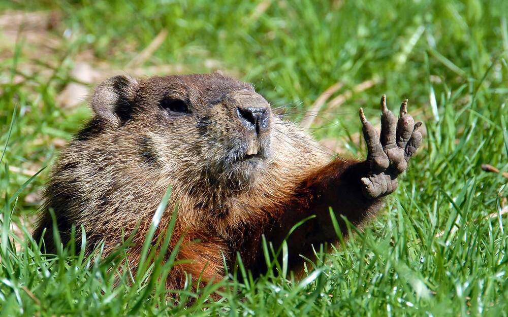 groundhog bites journalist while attempting daring escape from