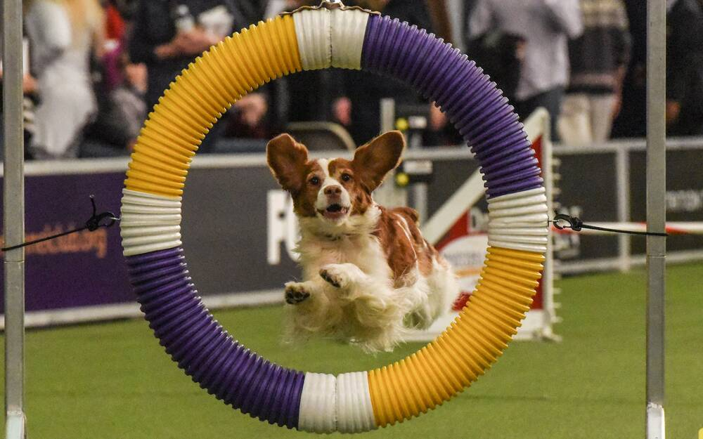 2018 westminster kennel dog show photos prove dogs are perfect