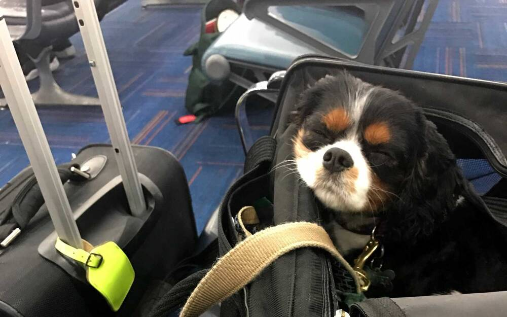 Airlines Pet Fees Can Be More Expensive Than The Flights Travel