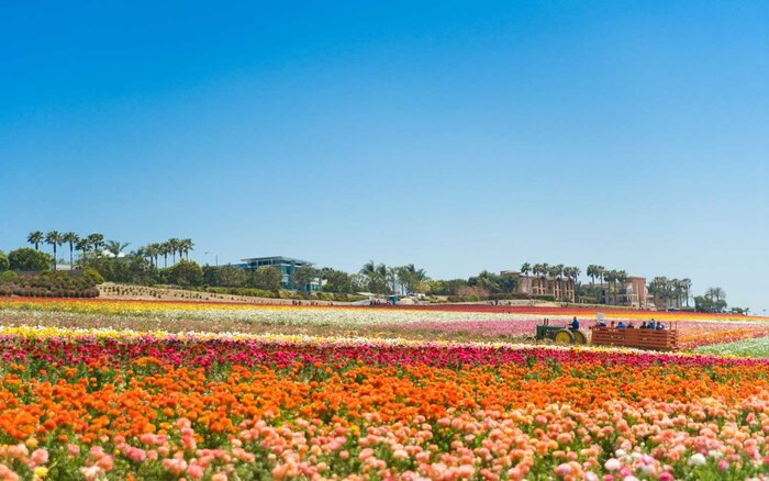 Flower Fields Carlsbad California