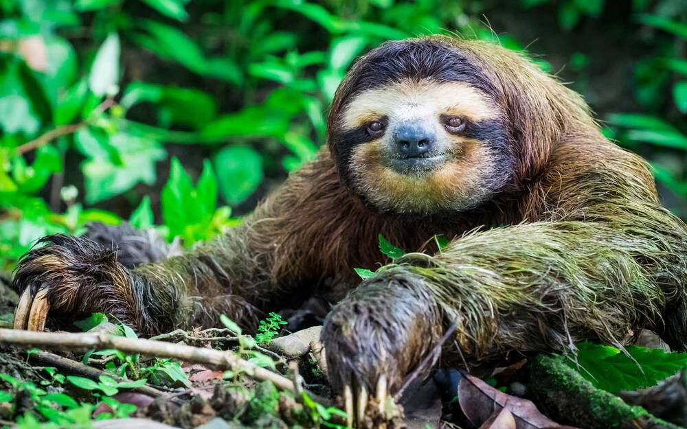 a sloth can hold its breath for 40 minutes underwater and 6 other