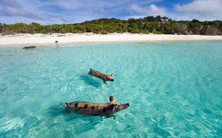 Swimming Pigs Of The Bahamas In Out Islands Exuma