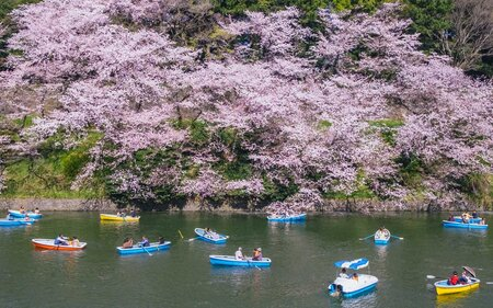 Japans Cherry Blossoms Are Predicted To Arrive Early This Year