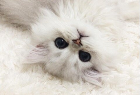 Internet-famous Teacup Persian cats are here to get us through this ...