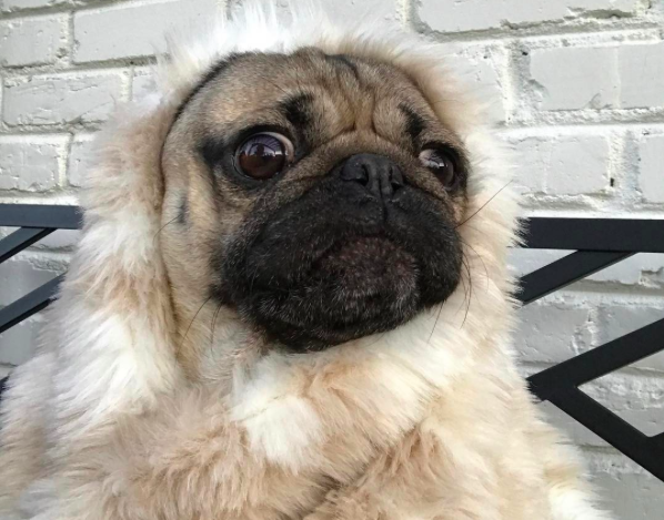 Doug the pug roleplays as our favorite beauty and the beast doug the pug roleplays as our favorite beauty and the beast characters we melt hellogiggles m4hsunfo