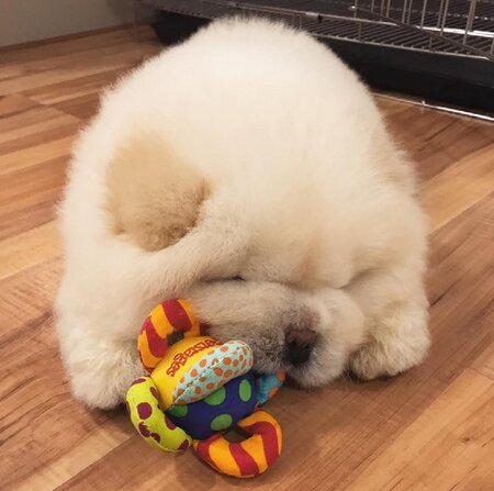 This Chow Chow Puppy Has Become An Internet Sensation And Prepare