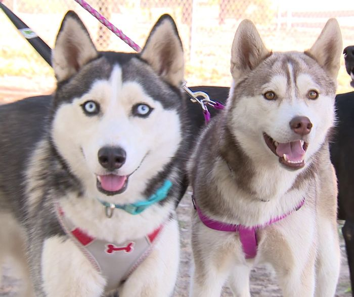 Someone Found These Two Huskies Abandoned At A Dog Park With The