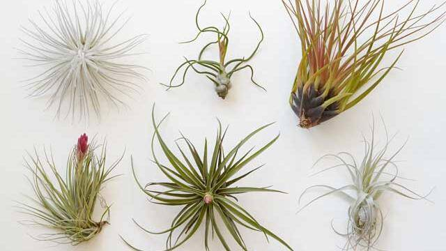f54bce2596 6 simple tricks to keep your air plant alive - Sunset Magazine