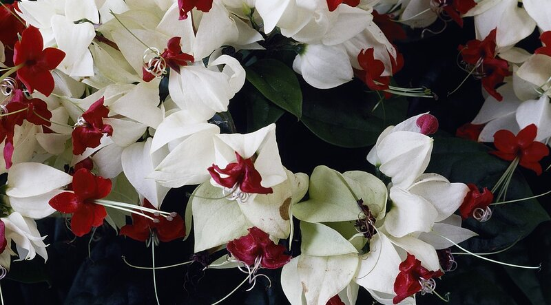 GLORYBOWER – CLERODENDRUM – Southern Living