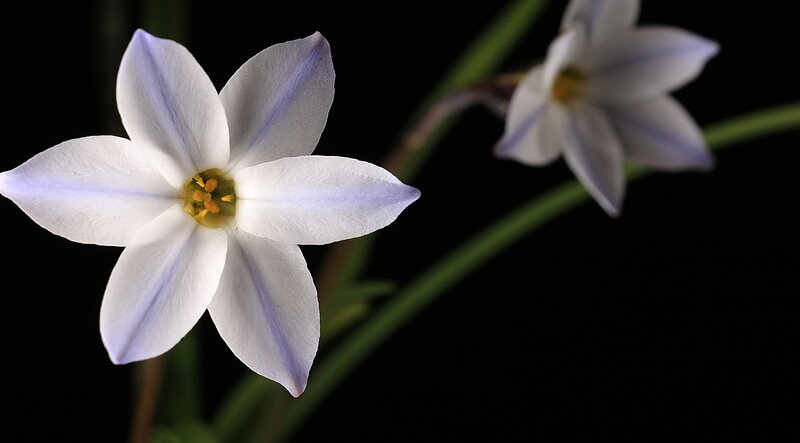 Spring star flower ipheion uniflorum southern living spring star flower plant details mightylinksfo