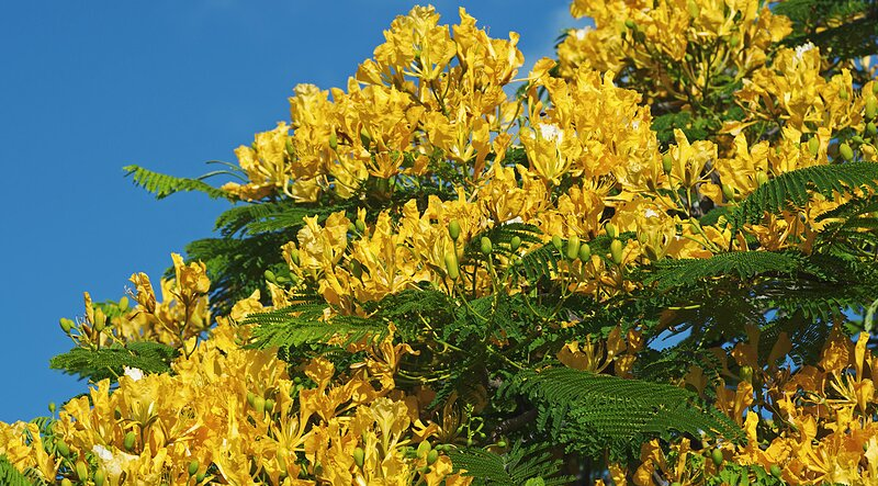 Yellow poinciana peltophorum pterocarpum southern living yellow poinciana mightylinksfo