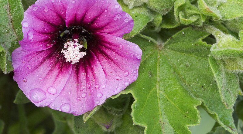 TREE MALLOW – LAVATERA – Southern Living