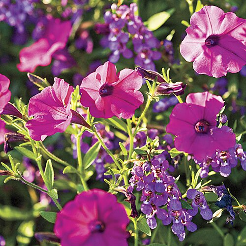 Grow dazzling petunias white purple and pink flowers southern purple petunia and angelonia flowers junglespirit Image collections