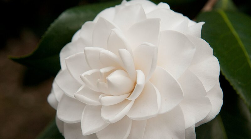 Camellia southern living camellias plant details mightylinksfo