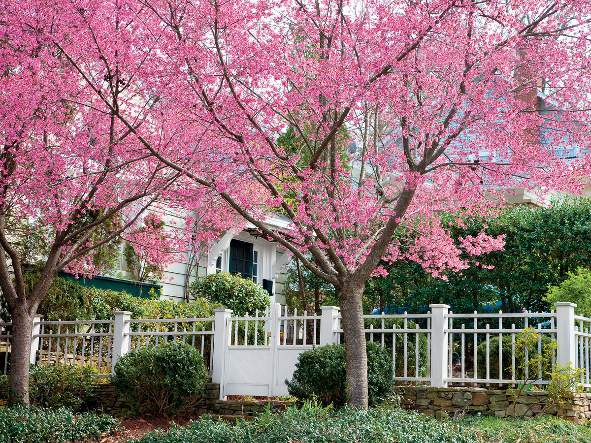 Cherry Blossom Trees 14 Things To Know About Cherry Blossoms