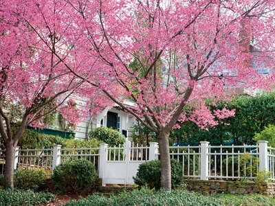 14 Things To Know About Cherry Blossoms
