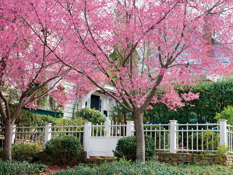 Cherry blossom trees southern living okame cherry tree mightylinksfo