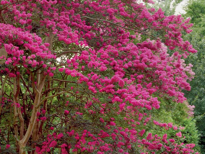 Beginners guide to crepe myrtle care southern living crepe myrtles mightylinksfo