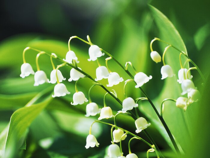 stylist lily house plant. Lily of the Valley How To Grow a  Southern Living