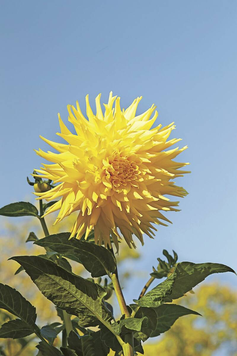 7 things you didn t know about dahlias southern living
