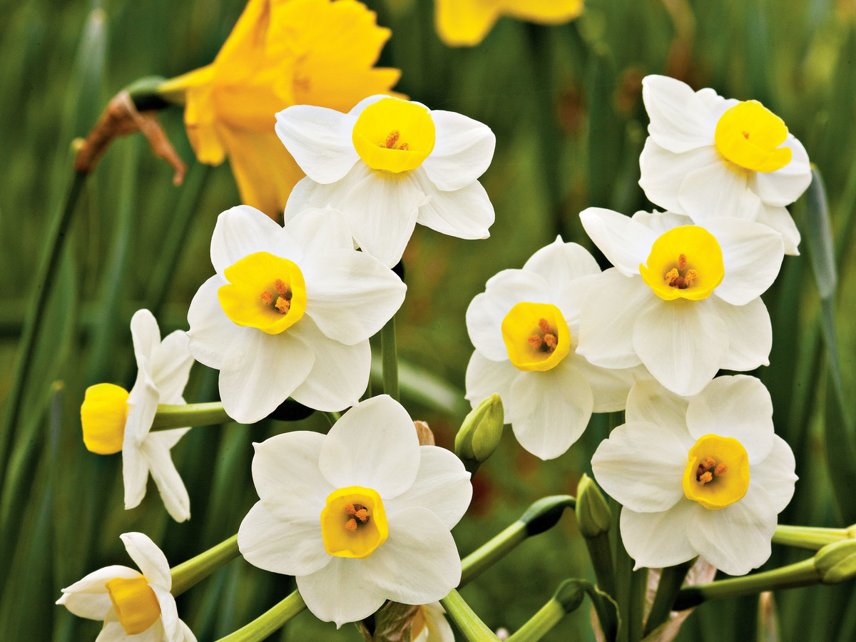 Daffodil Flower Facts Southern Living