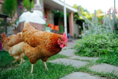 Backyard Chickens Can Pose A Serious Health Risk Southern Living