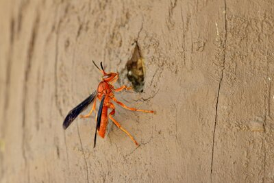 beware the alabama red wasp southern living