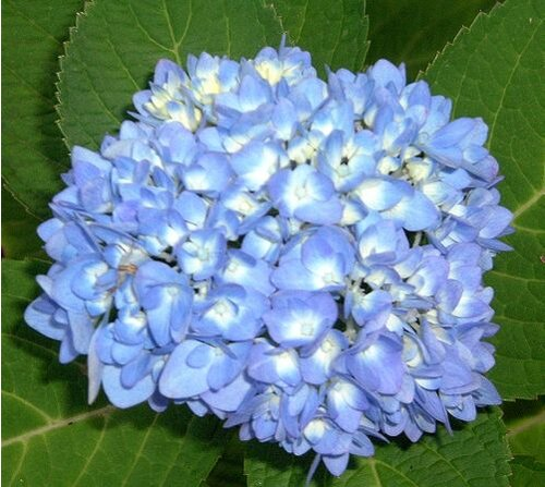 The Truth About \'Endless Summer\' Hydrangea - Southern Living