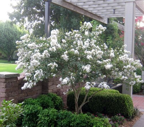 Plant a smaller crepe myrtle this year southern living 6a00e55131bf2a88330154330f1014970c 500wig mightylinksfo