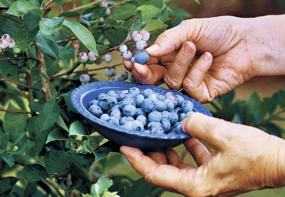 Q Do I need two or more blueberry trees to produce healthy fruit In the magazine this month it said to plant a blueberry plant in a container beside your