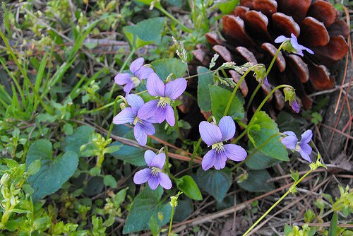At last an easy way to kill violets southern living commons wikimedia orgg mightylinksfo
