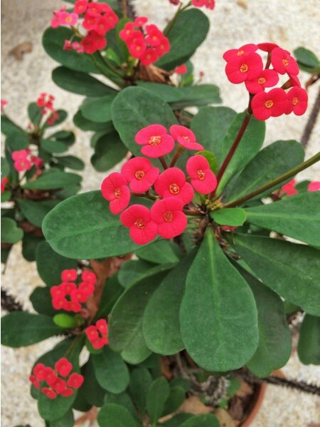 25 years of nonstop blooms thank you crown of thorns southern cot e1452273138242g mightylinksfo