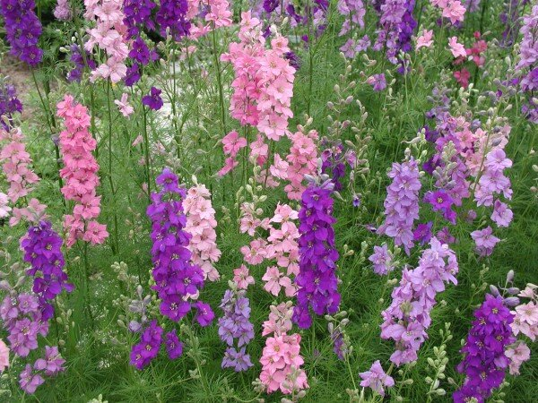 3 pretty spring flowers to plant now southern living delphinium larkspur mix2 e1444565398518g mightylinksfo