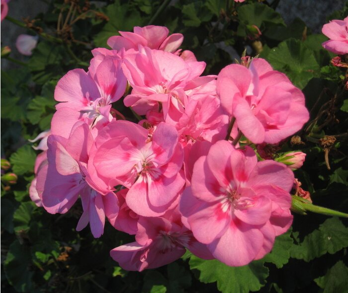Make your annual flowers perennials southern living like this geranium many flowers sold as annuals in cold winter climates can become perennials by overwintering them inside photo by steve bender mightylinksfo Image collections