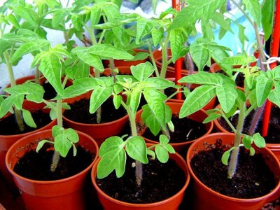 avoid these 6 mistakes when buying tomato plants southern living